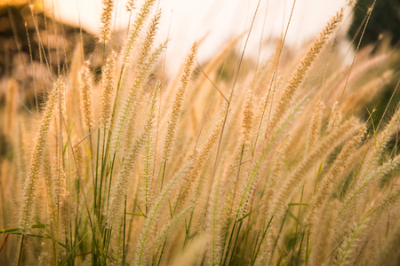 cane plumes: Grass flowers background
