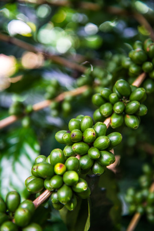 coffee harvest: Green coffee bean on tree Stock Photo
