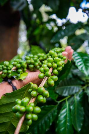 coffe bean: Holding coffe bean on tree Stock Photo
