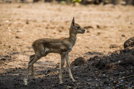 Baby red deer