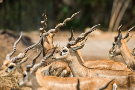 middle joint: Herd of impala
