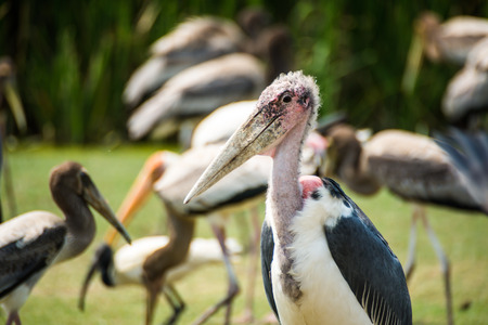 Marabou Stork in the zoo Stock Photo
