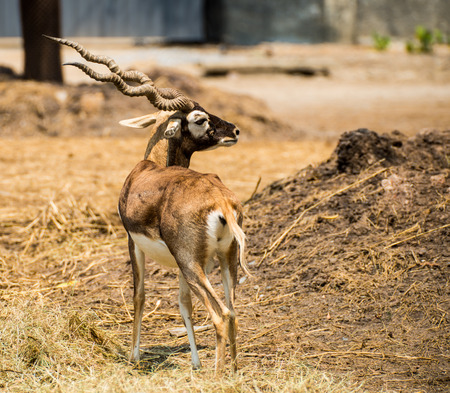 Impala male in the nature Stock Photo
