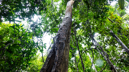 Rosewood tree in the forest Foto de archivo