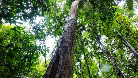 Palissanderboom in het bos Stockfoto - 87332858