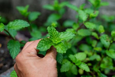 Hand holding mint leaf Stock Photo