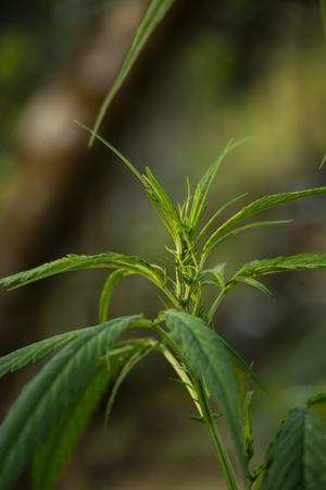 Marijuana in the plant Stock Photo