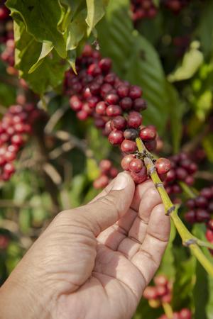 Hand picking coffee Stock Photo