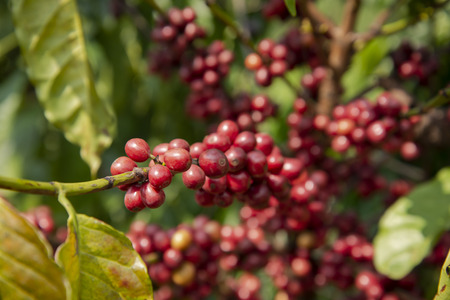 Coffee in the plant