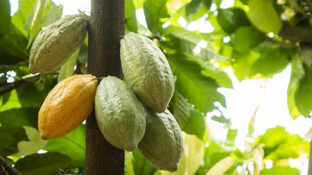 Fruit de cacao sur l'arbre Banque d'images