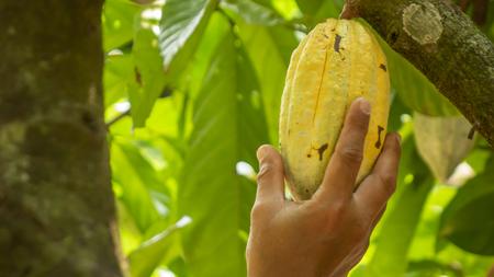 Picking cocoa fruit on tree