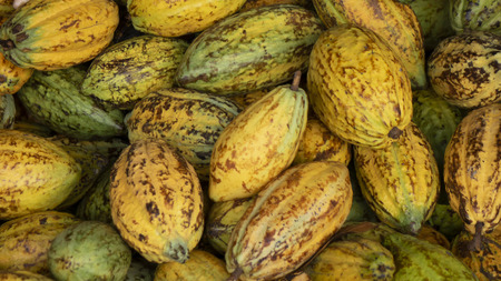 Cocoa fruit in chocolate production