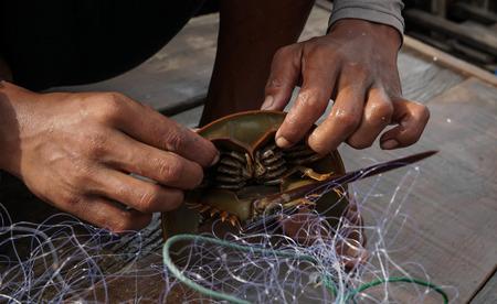 Fishermen catching horseshoe crab from the sea