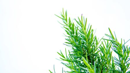 Rosemary on white background Archivio Fotografico - 133810585