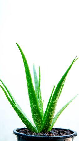 Aloe vera on white background Archivio Fotografico - 133810077