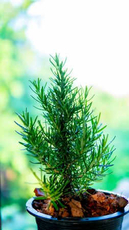 Rosemary tree in the garden Archivio Fotografico - 133810133