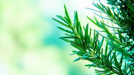 Rosemary tree in the garden