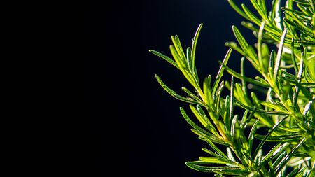 Rosemary tree on black background