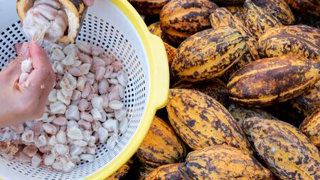 Farmer harvesting cocoa fruit