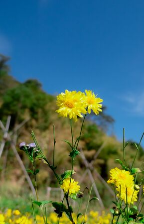 Chrysanthemum flowers in the plant