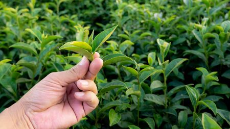 Close up hand picking green tea leaf