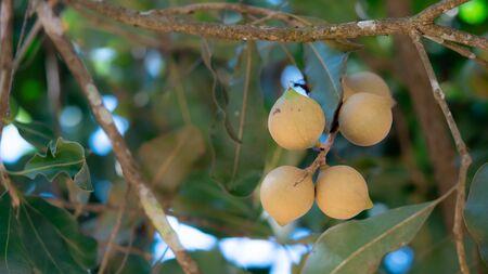 Macadamia fruit on tree