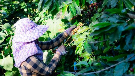 Farmer picking coffee in the plant