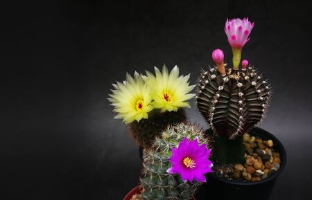 Many type Flowers and multicolors of mini cactus in little pots. Studio shot marble pattern background black tone.