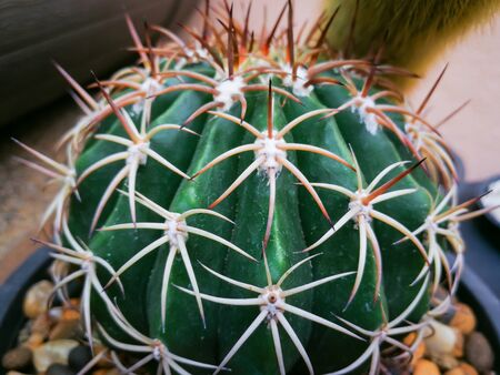 Mini cactus in black little pot at cactus home garden.Red thorn