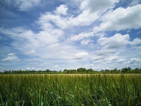 Golden rice on Feild. blue sky and white cloud for normal landscape and countryside photo  not panorama.