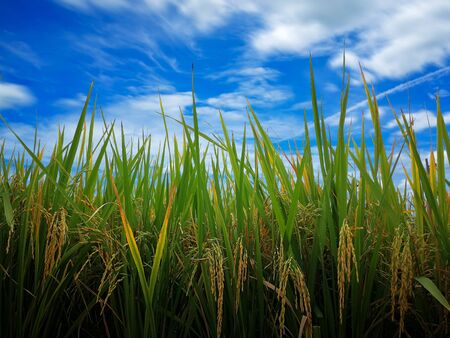 Golden rice and germinating seed on Feild. blue sky and white cloud for normal landscape and countryside photo not panorama. Rice seedlings with Clipping path for change another sky or background.
