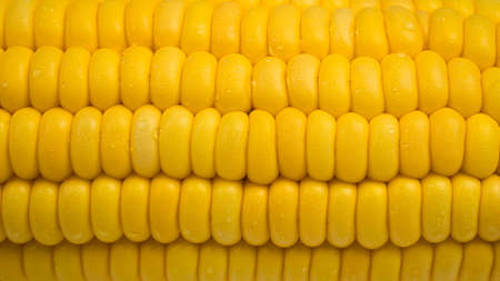 Raw corn kernels in rows. Close up Corn ears with water droplets adhere to the seeds. Pattern or texture that is a row of seeds in the pod.