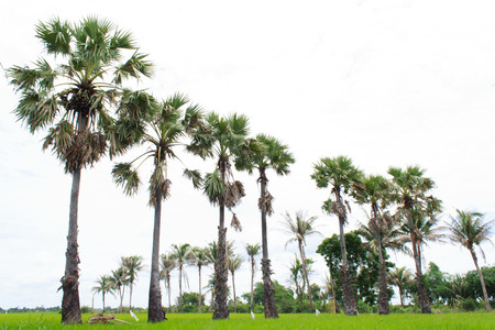 sugar palm: sugar palm tree in rice farm