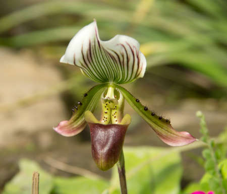 Nepenthes Stock Photo - 17192384