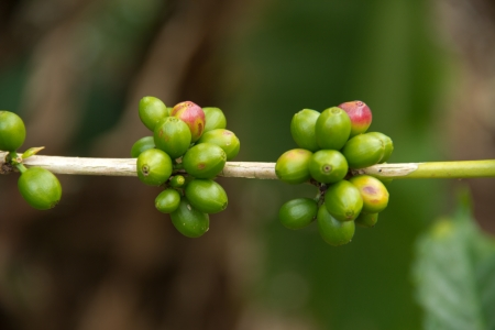 coffee cherry in klity kanchanaburi thailand photo