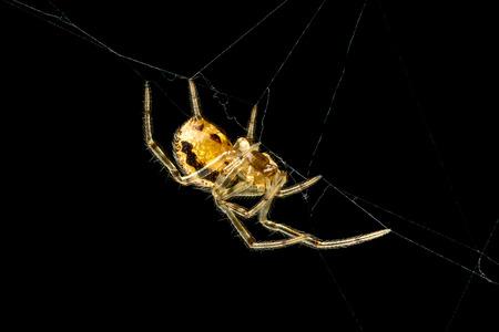 araneae: Spider Steatoda castanea isolated on black background Stock Photo