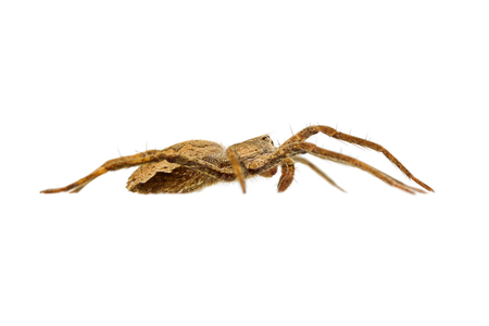 pisaura mirabilis: The nursery web spider Pisaura mirabilis isolated on white background, side view Stock Photo
