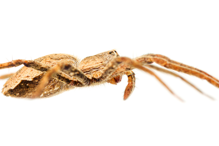 pisaura mirabilis: The nursery web spider Pisaura mirabilis isolated on white, side view
