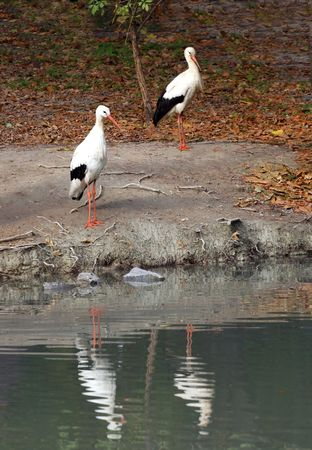 Two storks on the lake photo