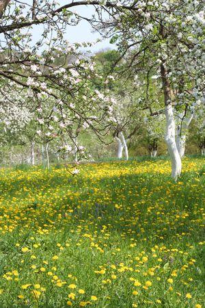 Summer Garden with Dandelions Stock Photo - 7552973