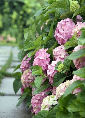 Flowers of Hydrangea Stock Photo