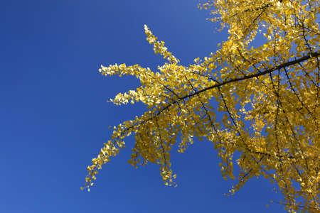 yellow leaves against the sky Stock Photo - 8144134