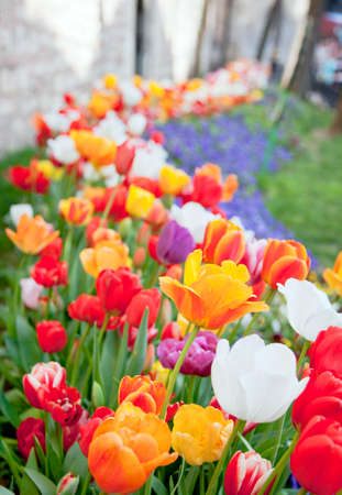 Fresh multicolored tulips in a spring park Istambul