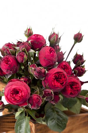 Bunch of blooming red Peony- roses isolated on a white background