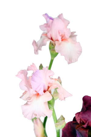 Bunch of peony flowers closeup isolated on white background Stock Photo