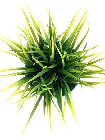 mondo: Mini Mondo Grass, Snakes Beard on white background.