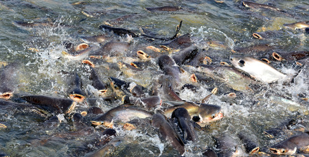scrambling: Catfish - Scramble to eat Stock Photo