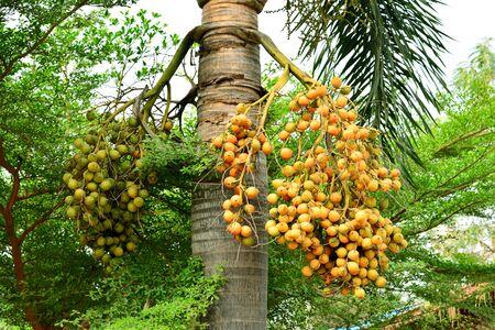 Areca nut or Areca catechu on the tree