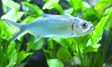 indopacific: Tarpon Indo-Pacific or Megalops cyprinoides fish with grass background Stock Photo