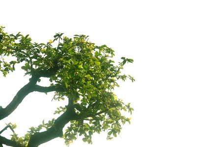 Las ramas de los árboles verdes sobre fondo blanco - silueta